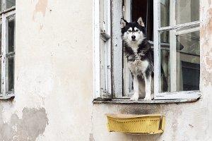 Husky dog and old window