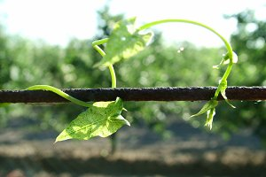 Crawling Vine
