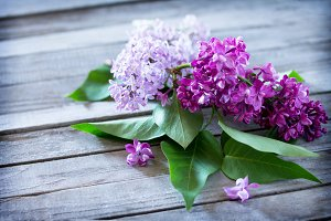 Beautiful fresh lilac violet flowers
