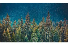 Pine tree forest in the mountains