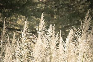 Tall Ornamental Grass