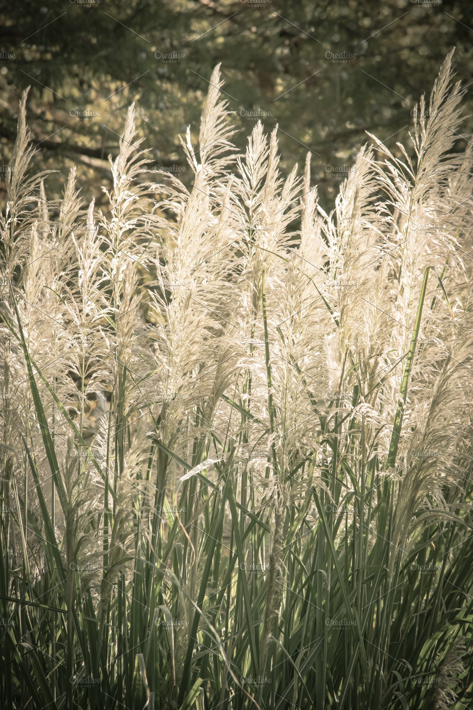 Tall Ornamental Grass High Quality Nature Stock Photos