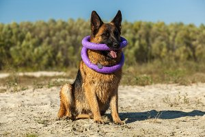 german shepherd, man's best friend, favorite, pet, guard dog, sh