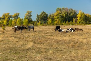 cows in the pasture, the cows resting in a meadow, autumn landsc