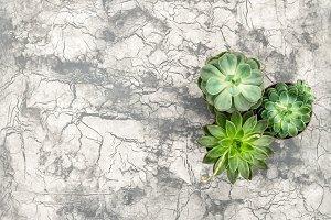 Succulent plants concrete texture