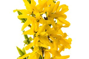Blossoming forsythia flowers