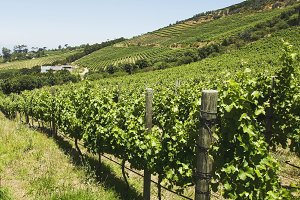 Valley vineyard in Cape Town, South Africa