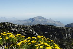 Yellow flowers on the top of Table Mountain in Cape Town, South Africa