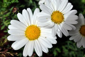 Daisies after rain with drops