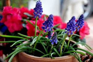 violet muscari in pot