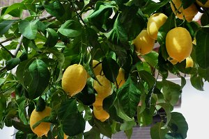 natural yellow lemons on branch