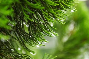 Raindrops on tree needles
