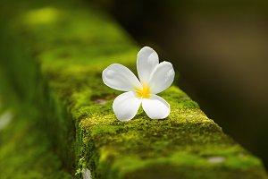 White plumeria flower on moss