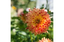 Blooming orange Asters in a spring sunny Garden