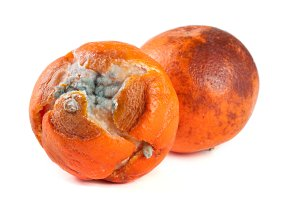 one moldy tangerine isolated on white background