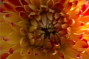 Orange dahlia petals macro, floral abstract background. Shallow DOF spring background