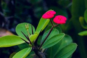 Red Euphorbia milii flower, Thailand, Koh Tao, Vintage