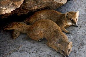 Two meerkat resting under a rock