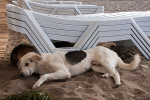 Stray dog lying on beach under sun beds in sand
