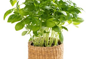 Basil in a pot.