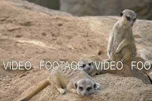 Three meerkats with one being on the alert