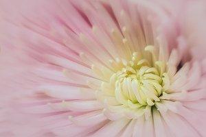01 Pink Chrysanthemum Macro