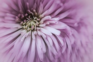 01 Purple Chrysanthemum Macro