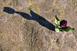 Tulip and its shadow