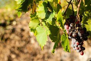Greek Grapes 2