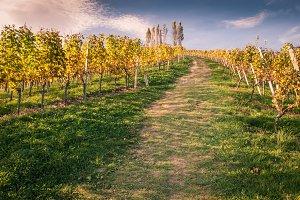 Wineyards mountain