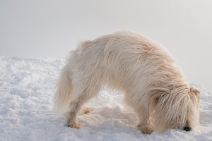 White Dog playing in snow