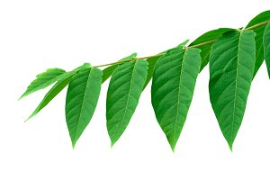 Branch Green Leaves