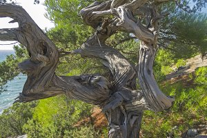 Twisted trunk of a juniper tree.