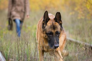 Attractive young woman walking with her dog German shepherd at autumn forest, near rail way - pet is in focus