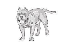 Drawing of pitbull dog