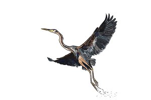 Drawing of flying purple heron bird