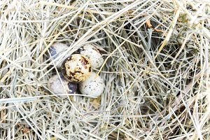 A bunch of quail eggs in hay. Top view.