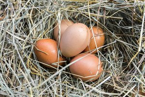 A bunch of chicken eggs in hay. Close-up.
