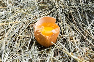 Chicken egg broken. The yolk of the egg. Front view. Hay. Rural view.
