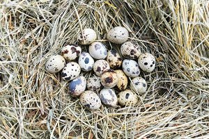 Bunch of quail eggs on hay. Top view.