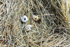 Three quail eggs.