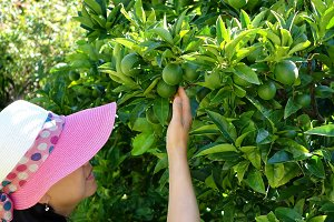 Woman picking limes