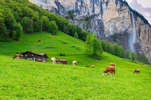 Cows grazing on mountain pastures