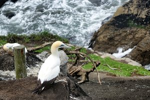 Gannet on Cliff of Pacific Ocean