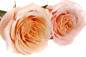 two fresh beige roses isolated on white background