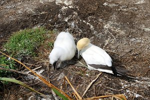 adult Gannet and chick