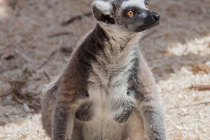 lemurm female sitting on the ground