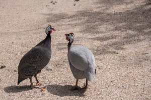 Two guinea fowl male and female in the field