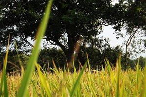 Lost In Rice Field