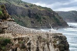 Flock of sitting Gannet birds